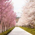 【日本生活】お花見/Hanami/赏花【豆子的日本日常】